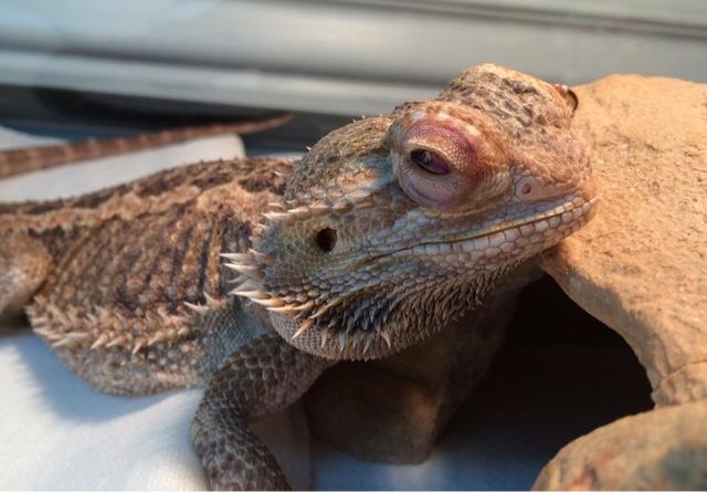 Sarah's Bearded Dragon Rescue: Poor Dory