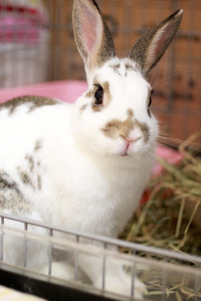 女の子 ミニウサギ