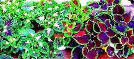 Colourful coleus