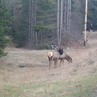 Two headed elk