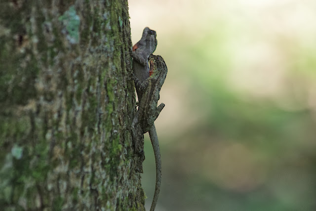 Couple de lézards. Tunda Loma à Calderon (San Lorenzo, Esmeraldas), 27 novembre 2013. Photo : J.-M. Gayman