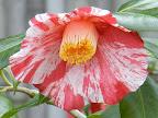 白色地 濃紅色の大小縦絞りと吹っ掛け絞りが多く入る 一重 平開咲き 丸弁 太い筒芯 中〜大輪