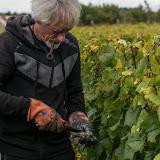 Petites vendanges 2017 du chardonnay gelé. guimbelot.com - 2017-09-30%2Bvendanges%2BGuimbelot%2Bchardonay-201.jpg