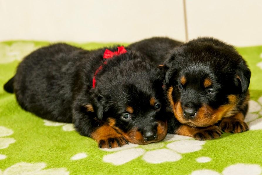Rottweiler szczeniaki