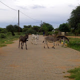 Donkeys in the road, a common sight