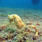Seahorse (Dauin, Negros)