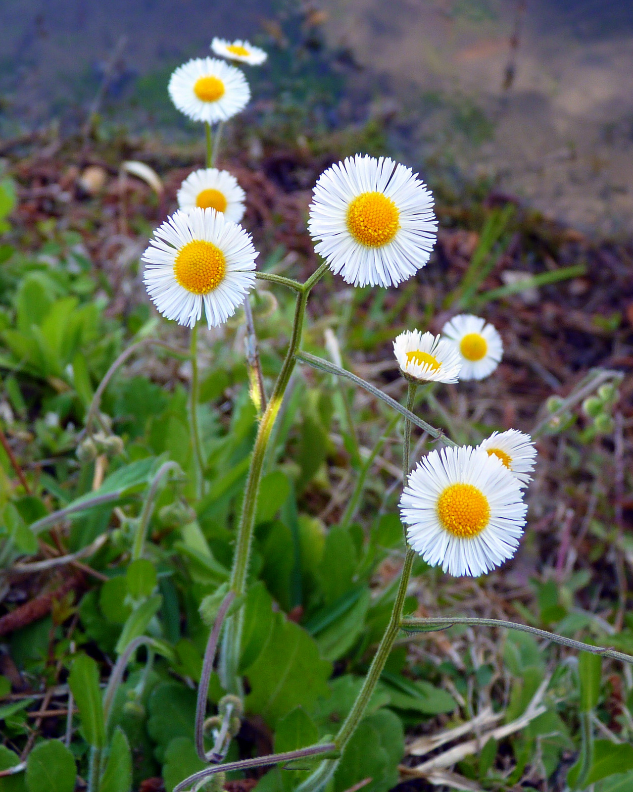"Dainty White Flowers : Southern Fleabane | | ""Life is Beauty"""