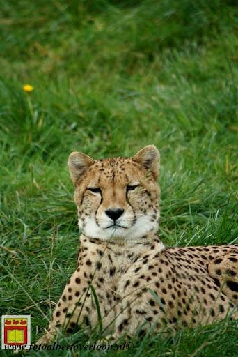 cheetahs vieren hun eerste verjaardag Zoo Parc Overloon (25) 11-11-2012.JPG