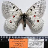 Parnassius phoebus chingizid spp. nova YAKOVLEV, 2006, holotype, femelle. LT : cours moyen de la rivière Elt-Gol, dist. de Bayan-Ulegei, Mongolie occidentale. Photo : Roman Yakovlev