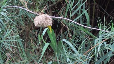 Weaver Bird Yellow in Nest