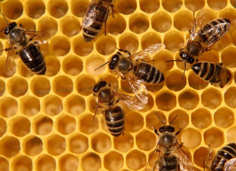 Bees working on a honeycomb
