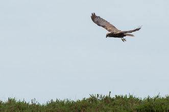 Photo: Western Marsh Harrier (Rohrweihe); Spiekeroog, DE