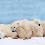 Arctic_polar_bears_family.jpg
