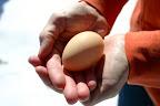 A freshly-laid winter egg! February 18.