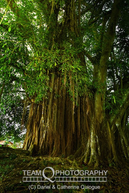 The Balete Tree of Samal Island