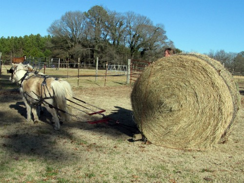 Bell and Bit pull a round bale of hay