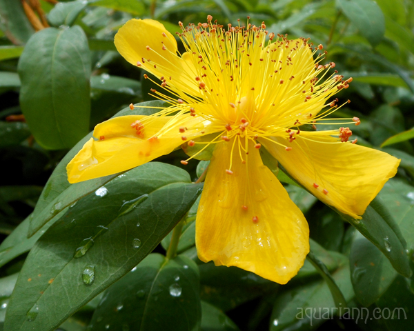 St Johns Wort Flower Photo By Aquariann