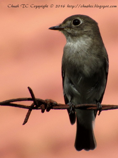 Asian Brown Flycatcher - Front View