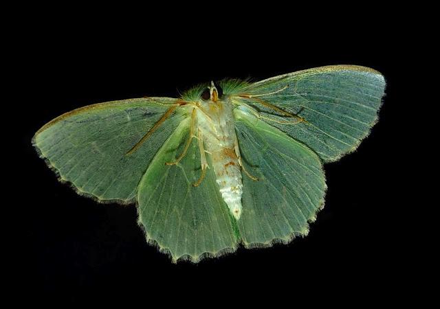 Geometridae : Geometrinae : Anisozyga metaspila WALKER, 1861, mâle, verso. Umina Beach (NSW, Australie), 26 octobre 2011. Photo : Barbara Kedzierski