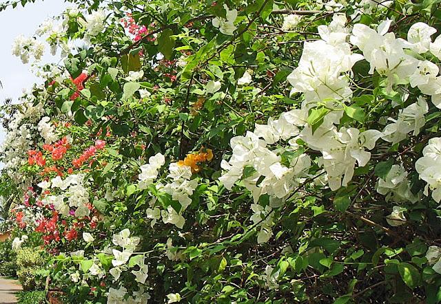 White Bougainvillaea plant