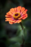 D_G_A_PriesterW_Orange Zinnia.jpg