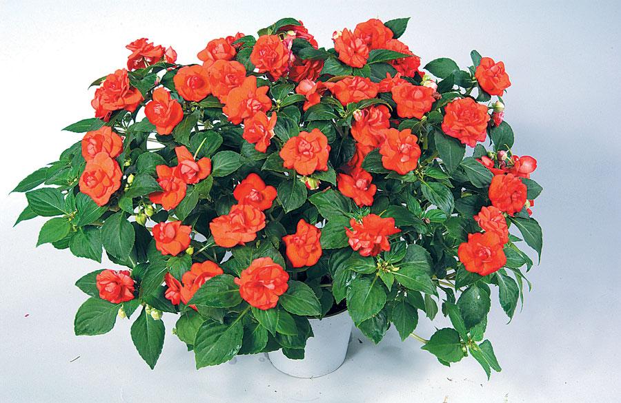 Hoa mai địa thảo kép