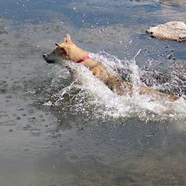 Ball Chasing by Diane Garcia - Animals - Dogs Playing ( playing, dog, water,  )