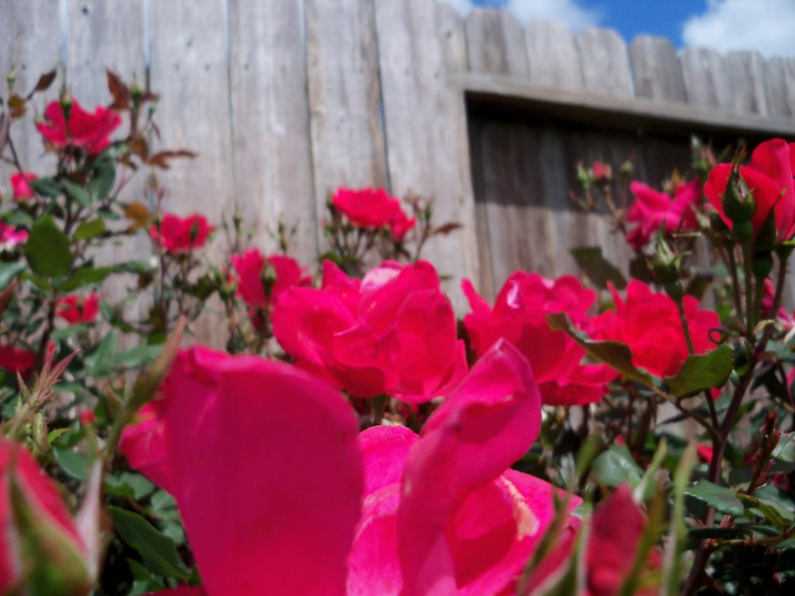 Gardening 2013 - 115_5709.JPG