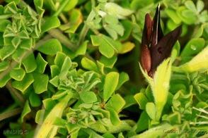 Lotus Azoricus_2