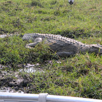 A crocodile by the Chobe River