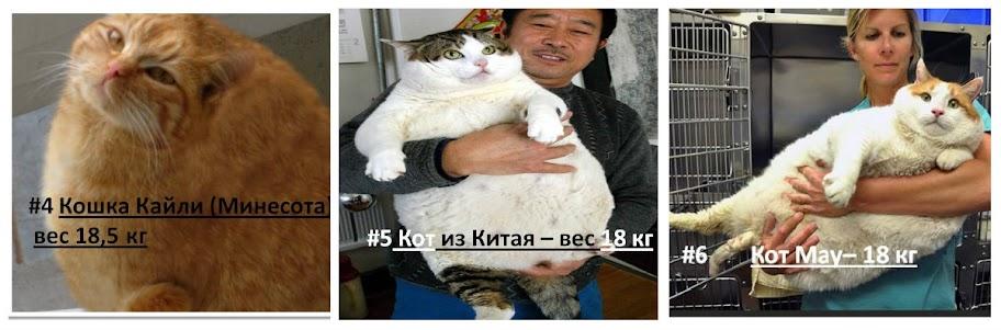 самый толстый кот в мире