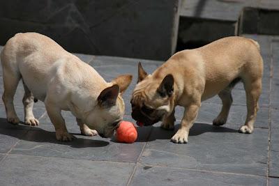 Bulldog Francês Mni Bulldog Buldog Preços Filhotes French Bulldog