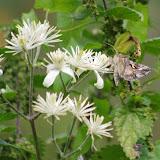 Noctuidae : Plusiinae : Autographa gamma (LINNAEUS, 1758). Les Hautes-Lisières (Rouvres, 28), 13 septembre 2012. Photo : J.-M. Gayman