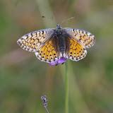 Boloria napaea HOFFMANNSEGG, 1804, femelle. 2000 m, Super-Sauze (Ubaye), 12 août 2009. Photo : J.-M. Gayman