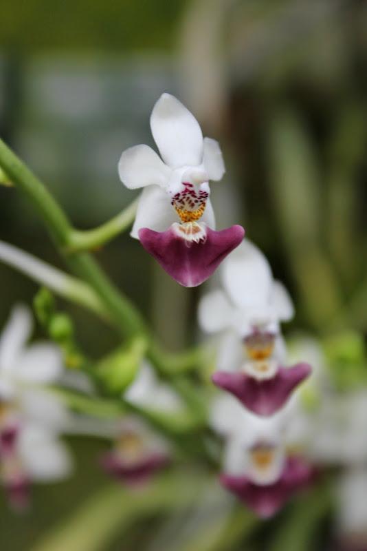 Phalaenopsis parishii IMG_1361