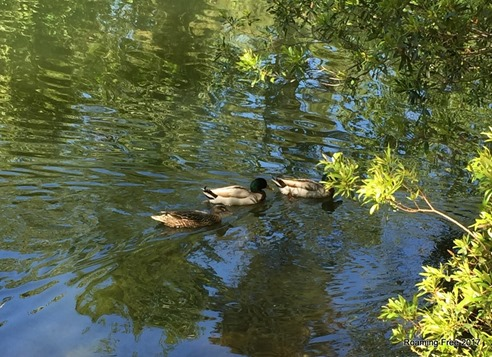Duck familiy