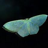 Geometridae : Geometrinae : Thalassodes pilaria GUÉNÉE, 1857, recto. Umina Beach (New South Wales, Australie), 9 mai 2011. Photo : Barbara Kedzierski