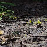 Au centre : Papilio bromius DOUBLEDAY, 1845. Au premier plan : Graphium policenes CRAMER, 1775. Au second : Eurema senegalensis BOISDUVAL, [1836]. Berges de la Soo (affluent du fleuve Nyong), Ebogo (Cameroun), 8 avril 2012. Photo : J.-M. Gayman