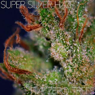 Super Silver Haze MAcro 1