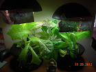 8 week lettuces (4 KRC, 2 little caesar romaine)