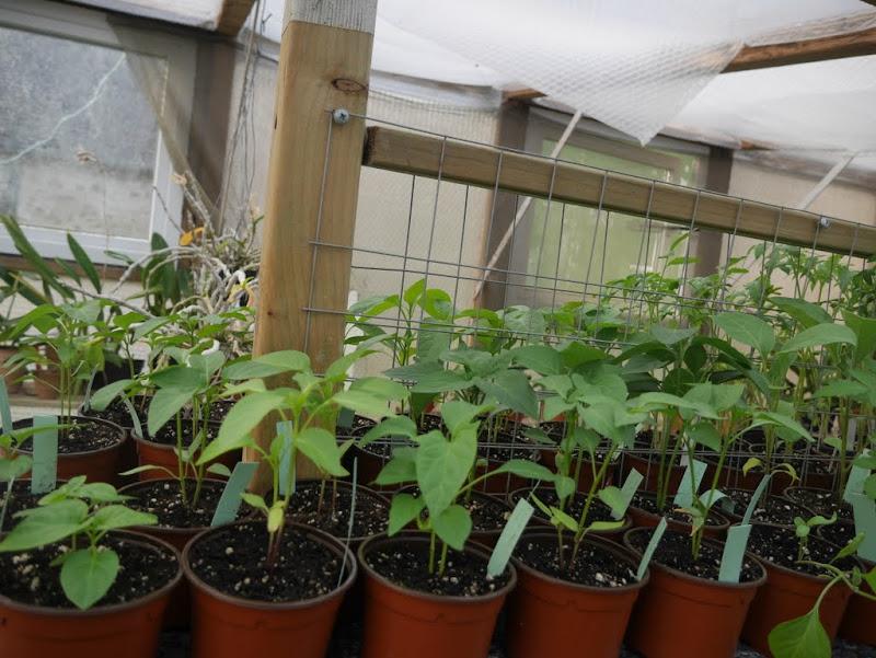 Tomates et compagnie, en folie P1080381