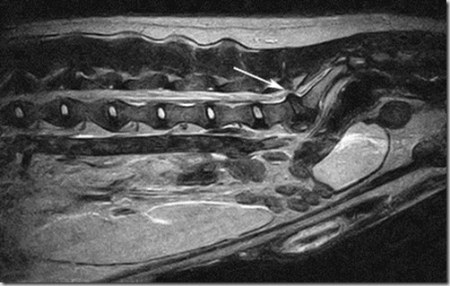 sindrome-cauda-equina-cane