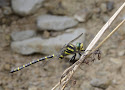 30 gewone bronlibel.jpg