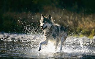 Achtergrond met wolf in het water