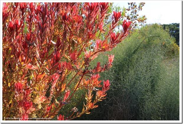 160813_UCSC_Arboretum_Leucadendron-Safari-Sunshine_007