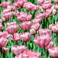Rosa & Verde di