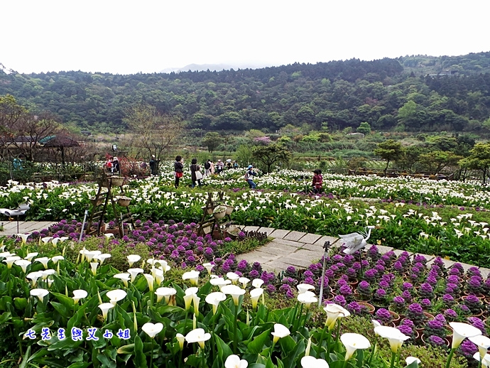 13 苗榜海芋園