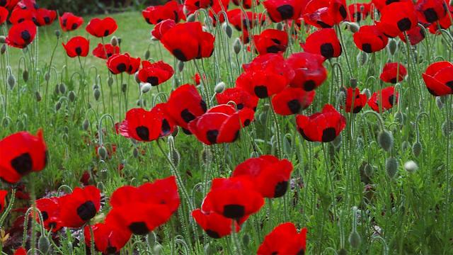 Cultura do Canadá: O que é o Remembrance Day?