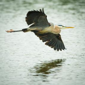 Blue Heron by Scott Turnmeyer - Animals Birds ( water, flying, turn, blue, banking, heron )