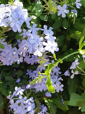 mor yasemin çiçeği